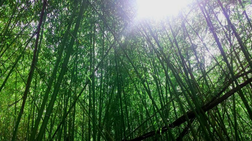 Bamboo on the Katy Trail